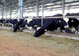حملة لتطعيم الأبقار ببورسعيد بعد ظهور اصابة بالحمى القلاعية