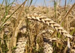 السلع التموينية: لا توجد مشكلة بين مصر وروسيا فيما يتعلق باستيراد القمح