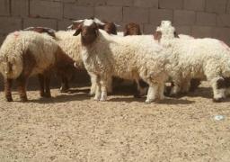 الكيلو بـ 28 جنيهًا للعجول و35 للخراف.. طرح 4 آلاف رأس ماشية بشوادر وزارة الزراعة