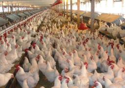 وزير الزراعة : مصر تقترب من درجة الاكتفاء الذاتي من الدواجن