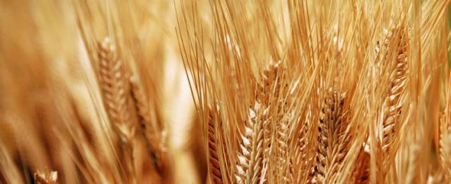 مصر وتركيا تتصدران قائمة مستوردي القمح الروسي