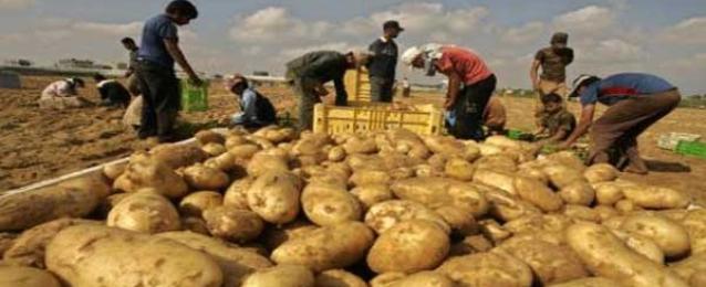 """""""الزراعة"""": زيادة الصادرات من البطاطس بأكثر من ربع مليون طن"""
