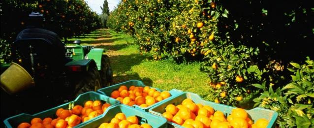 الزراعة تعلن فتح أسواق أوزباكستان وأندونيسيا أمام الموالح المصرية